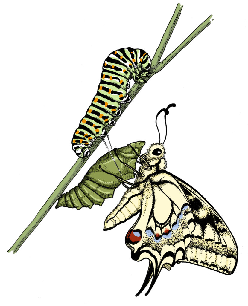 Le Machaon, Papilio machaon